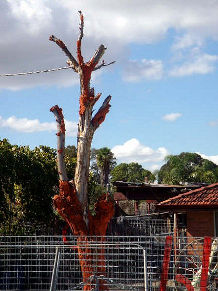 Orange tree on Wanneroo Road